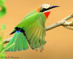 White-Fronted-Bee-Eater